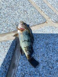 これなんという魚かわかる方いたら教えてください。