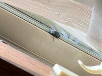 エアコンからの虫の被害に困っている者です。 5日ほど前に引っ越してきたのですが、昨日の正午、家に帰ってきたら、窓の内側に10数匹程アブのような虫が付いていました。   1度は1匹も居なくなったのですが、夜に...