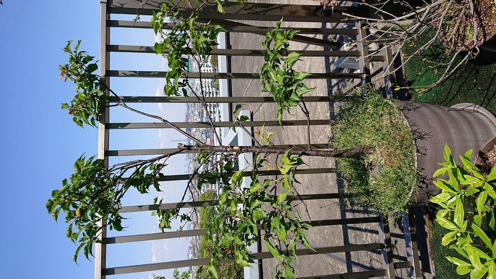 梅の木の剪定のアドバイスをお願いします 本日2021/4/11です。 私の家の梅の木の剪定についてアドバイスお願いします。 添付画像のような状態です。 4~5年ほどになります。 毎年楽しみにしていますが、花付きが悪く、 がっかりすることが続いています。 画像のどのあたりをいつ剪定すれば改善するでしょうか。 梅は、枝の先の方にばかり葉がついているような気がします。 良きアドバイスお待ち...