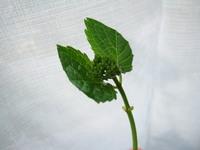 アジサイの挿し木をしようと挿し穂をとっていたら 小さい花芽の付いたものもとってしまいました この場合、花芽は取り除いて挿し木した方がよいのでしょうか?