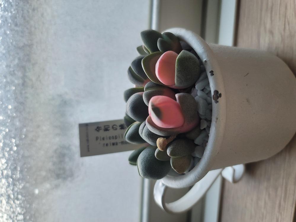 令和の桃子(多肉植物)育て方 最近、令和の桃子という名前の多肉植物を購入しました インターネットで育て方を調べたのですが、詳しい説明が少なく、ご存じの方がいらっしゃれば教えていただけないでしょうか? 私が現時点で知っている知識は下記の通りです 1.最適温度は8~20℃ 2.直射日光の当たらない明るい風通しの良い所に 置く 3.梅雨~夏は休眠時期の為、水を与えない 4.冬の寒さに弱く、乾燥...