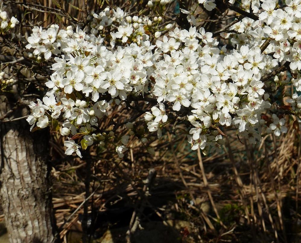 これは、何の花でしょうか。 山の中の集落を訪れた時に咲き誇っていたので写真を撮りました。 バラ科でサクラか何かの仲間ではないかとは思うのですが、はっきりしません。 どなたかご教授よろしくお願いします。