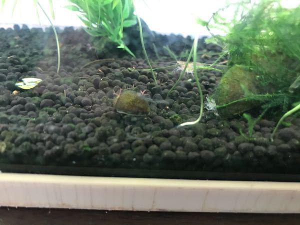 メダカやミナミエビと一緒に飼ってる貝なんですが、なんで甲羅?貝から赤い海藻のようなのが生えているのでしょう。 また害などはありませんか??