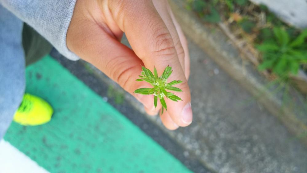 とても小さいこの白い花の名前を教えていただけませんか? 息子と散歩で見つけた雑草です。