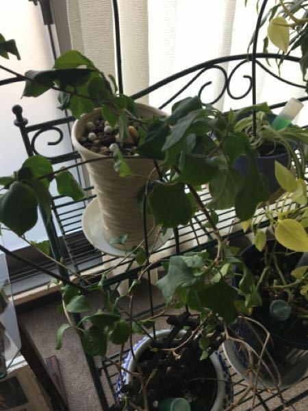 鉢植えのブーゲンビリアが何年か花は咲いていませんでしたが、何とか葉は青々として元気にしてくれていました。何年も土の植え替えをしていないので、今年、植え替えてあげようど思っています。 水やりは、いつも気付いた時にたっぷりと鉢底から通るまでしていました。今年も元気な葉が付いてくれていたのですが、ネットで週一くらいで水やりとあったので、1週間に一度の水やりを2週連続していたら、葉がしなしなになって...