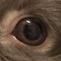 うさぎの目の中の白い線について  ・瞳孔の大きさが左右で違う(左側が小さい) ・白目の充血 昨日の夜、上記の症状が見られたのでぶどう膜炎かもしれないと思いかかりつけの動物病院へ連れていったところ、「角膜の内側(虹彩の部分?)に細い糸のような白い線があるがなんなのかよくわからない」と言われました。線は動いていないので寄生虫でもないだろうとの事です。 肉眼でも見えるレベルなのですが、家の...