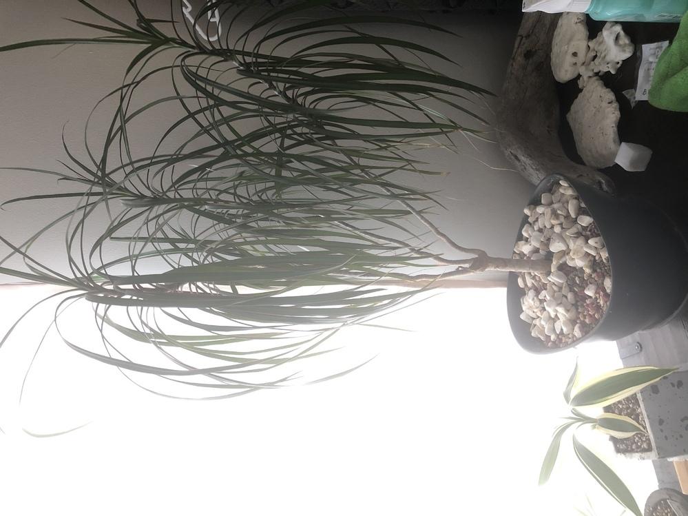 観葉植物にお詳しい方、助けてくださいm(__)m 数年前に画像の植物を購入し,育てております。 植物名はわからず,時々水をあげていましたら すごく大きく成長してしまいました。 3回ほど鉢の植え替えは行っております。 幹の部分より,葉の方がひょろひょろと伸びてしまってどうしていいかわかりません。 どこか途中の部分でカットして土 にさすなど植え替えが必要でしょうか? 受け皿から先端の上部までは9...