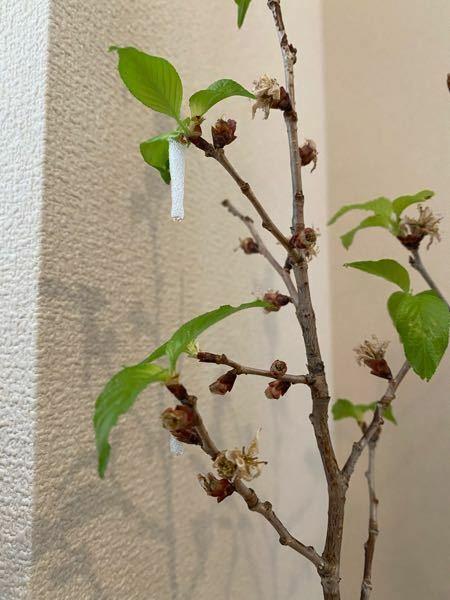 桜から葉桜に移り変わっている今日この頃。 葉の生え際から白くて透明な液体が出てきました。 これは何か分かる方いらっしゃいますでしょうか。。