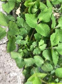 これはなんの植物なのでしょうか? 祖母に聞くと、名前は知らないが食べれるといい、祖母がたまに料理に使うと言います。