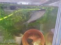 川で甥っ子がとってきたのですがこの魚はタナゴですか!??  写真は見にくいかと思いますがよろしくお願いいたします!