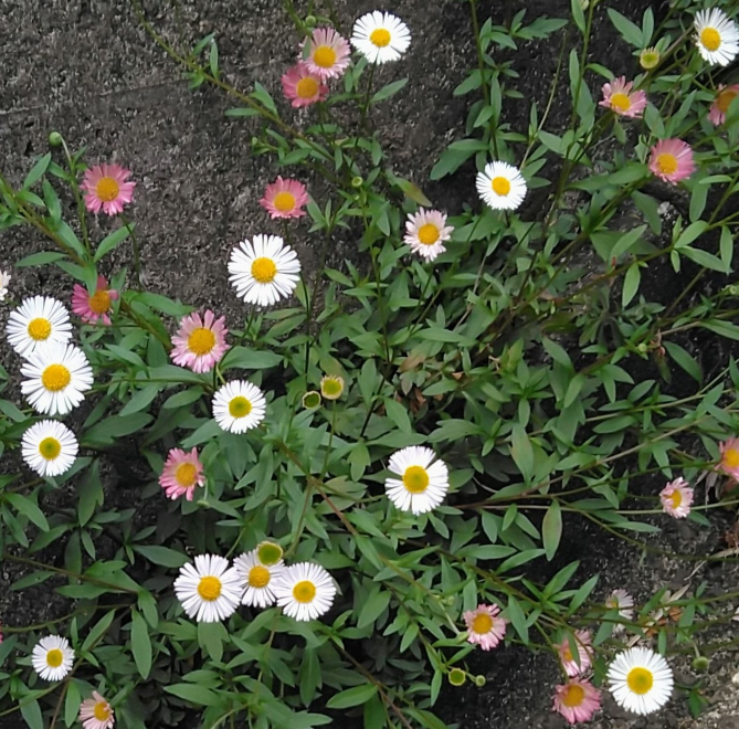 これはなんの花ですか?ヒメジョオン?ハルジオン?ヨメナ?白とピンクが混じっていますが別の花ですか?同じ花の色違いでしょうか???