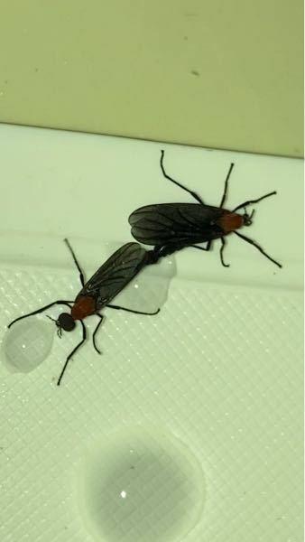 この虫なんですか? 最近めちゃくちゃ色んな所に居るんですけど...。 超鬱陶しい。笑 わからんから交尾無視って呼んでます。