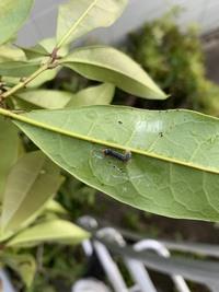 キンモクセイの葉についていたこの虫の名前を教えて下さい。