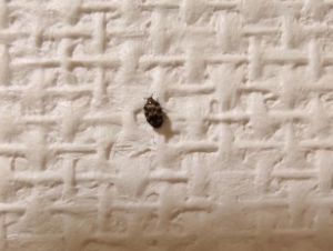 画像の虫は何でしょうか? 最近、家の中にいることがあるのですが、分かる方おられるでしょうか? 体調は2~3mmくらいです。 また、このサイズは成虫でしょうか? 虫が苦手で、このサイズから成長し...