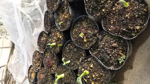 里芋の植え付けについて。里芋(土垂)をポットに植え、ビニールハウス内に置いて芽出しをしました。先週の日曜日で写真のような状態です。次の週末に植え付けを行おうかと思います。場所は北関東平野部です。 ここで質問なのですが、 1.種芋の成長がバラバラ(葉が展開してる物から微かに芽が出ただけの物まで)なのですが、全部一緒に植え付けて大丈夫でしょうか。 2.葉が展開してしまった物はどれくらいの深さに植...