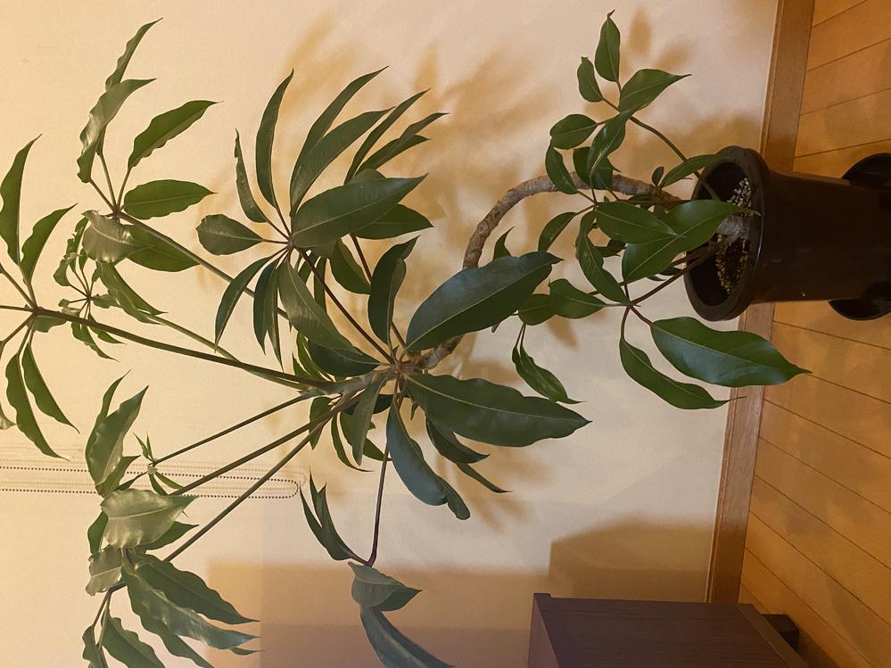 先日観葉植物を買ったのですが、名前をすっかり忘れてしまいました。 水やりの仕方など調べたいのですが名前が分からないもので、調べられずにいます。 この植物を分かる方がいたら教えて下さい(>人<;)