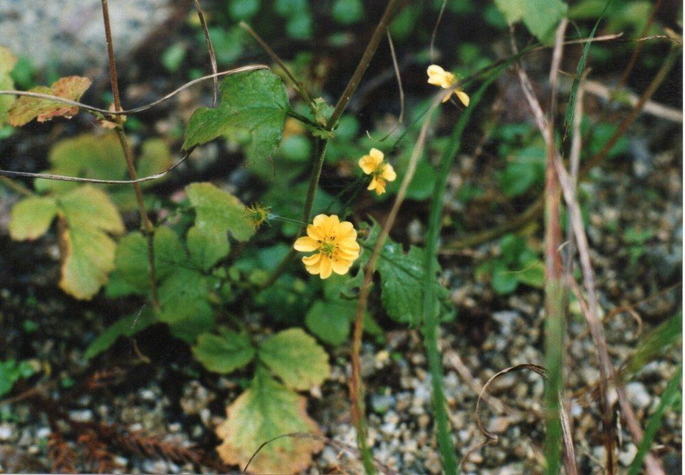この花は何か教えてください。ずいぶん前の11月、大阪和泉市の田舎で見たものです。