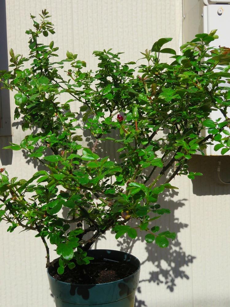 2018年12月に届いた大苗のアントニオガウディを育てています。 つるバラのはずなんですが枝がちっとも伸びません。 2019年、2020年の冬剪定も細い枝と枯れこんだ枝を切っただけです。 用土替...