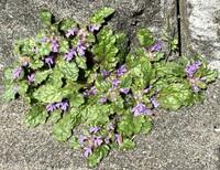 植物の名前を教えてください。  キランソウで合ってますか?
