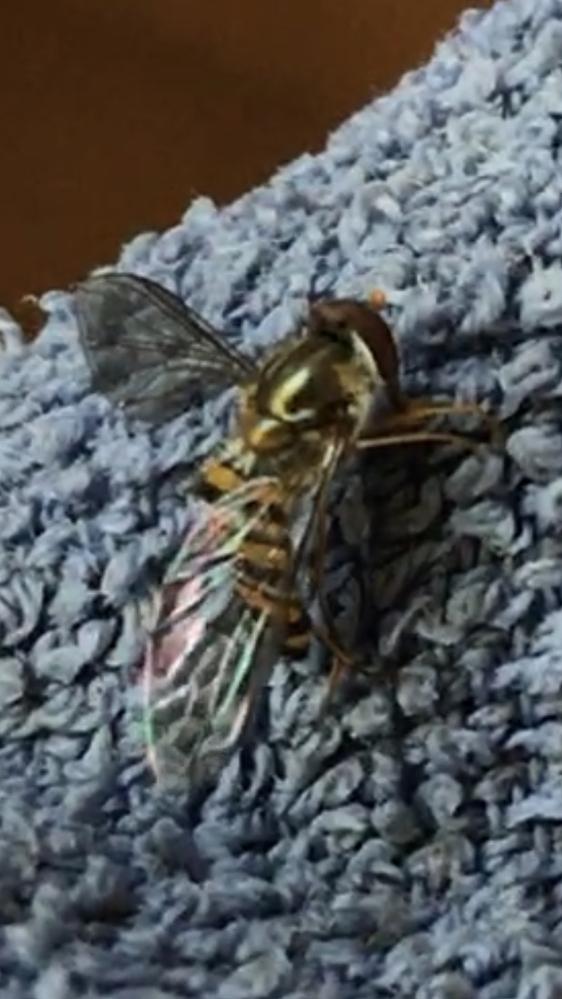 ご存知の方、この虫の名前をお教えください。 二匹ほど部屋にいました泣