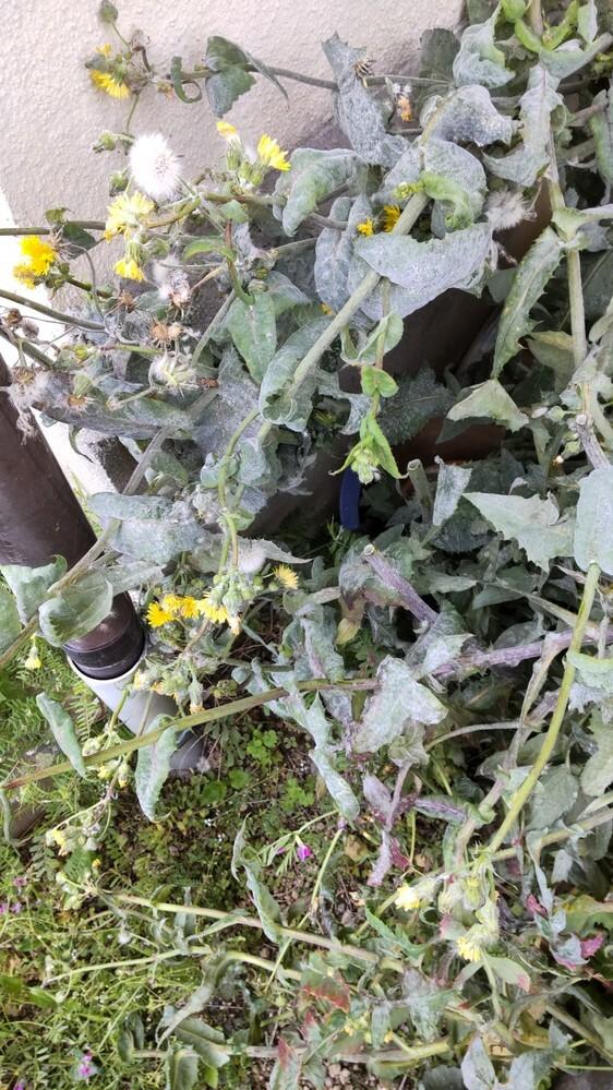 画像の植物は何でしょうか。 イタドリではないと思いますが、それと同様に茎が中空で成長が早く、根本は直径3センチぐらいになっていたため脅威を感じています。