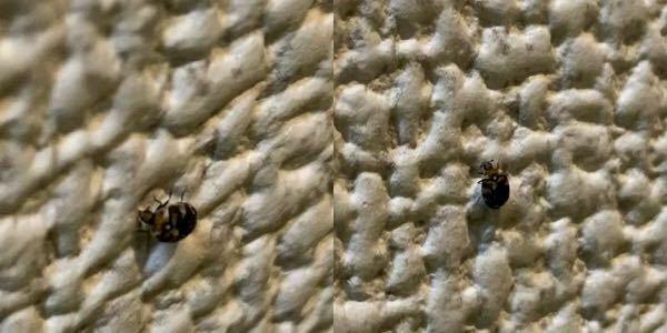 【虫が写っています】 苦手な方はお控えください! こいつ何者かわかる方いらっしゃいますか?? 2〜4mm程度で、室内で見かけました ダニ系のナニカ…?