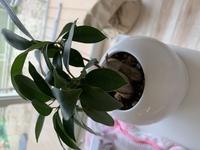 ガジュマルの鉢の植え替えはどうしたらいいのでしょうか?  昨年ガジュマルの鉢をもらいました。 少しずつ大きくなってきて、植え替えが必要なのか、それともこれ以上大きくならないのか… ここからどうしたら...