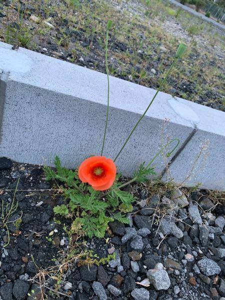 この花の名前を教えてください! 道端にポツンと咲いていたので気になりました! 雑草でしょうか?