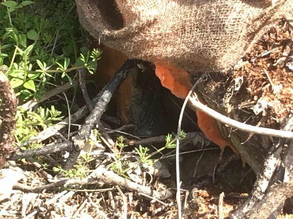 木が切られた後の切り株が橙色のぽよぽよしたものに覆われています。これは何でしょうか。放っておいてもよいのでしょうか。