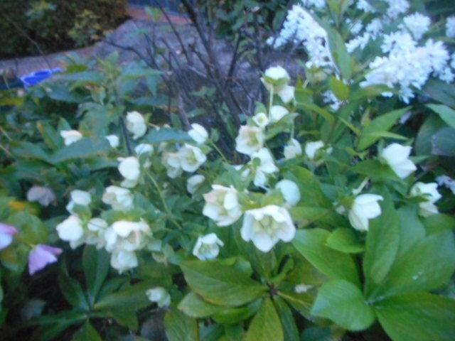 野茨の花びらを前に開いたような(野茨は横に広がっていますよね)花で、地面からせいぜい30センチくらいのまでの高さで咲いていました。 やはり調べても分かりません。 名前をお分かりの方、よろしくお願いいたします。