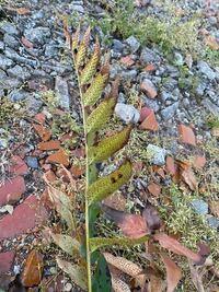 庭に気持ち悪い植物が生えていたのですがこれが何なのか分かる方おりますか? 葉っぱのブツブツは虫の卵かな? よろしくお願いします。