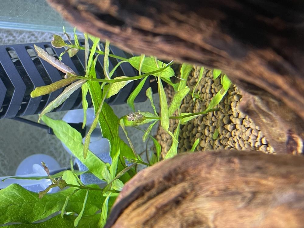 ハイグロフィラポリスパルマという水草についての質問なのですが、 この水草の新芽が変形したり赤褐色になったりしてしまったのです原因や対処法などはありますでしょうか?