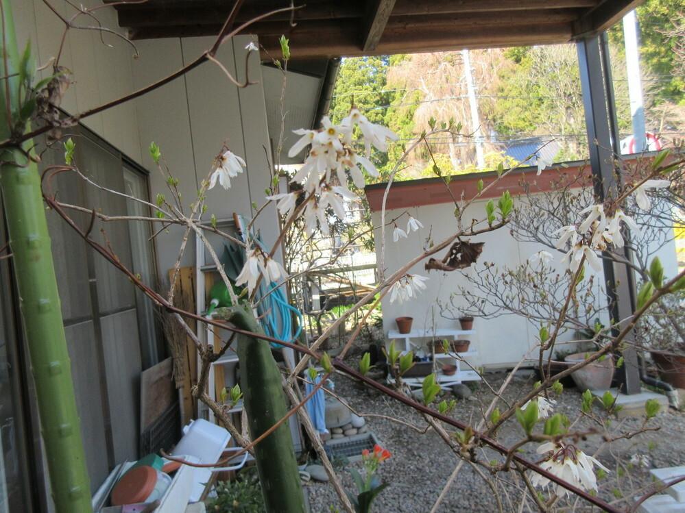 白い花の咲いている木の名前を教えて下さい。