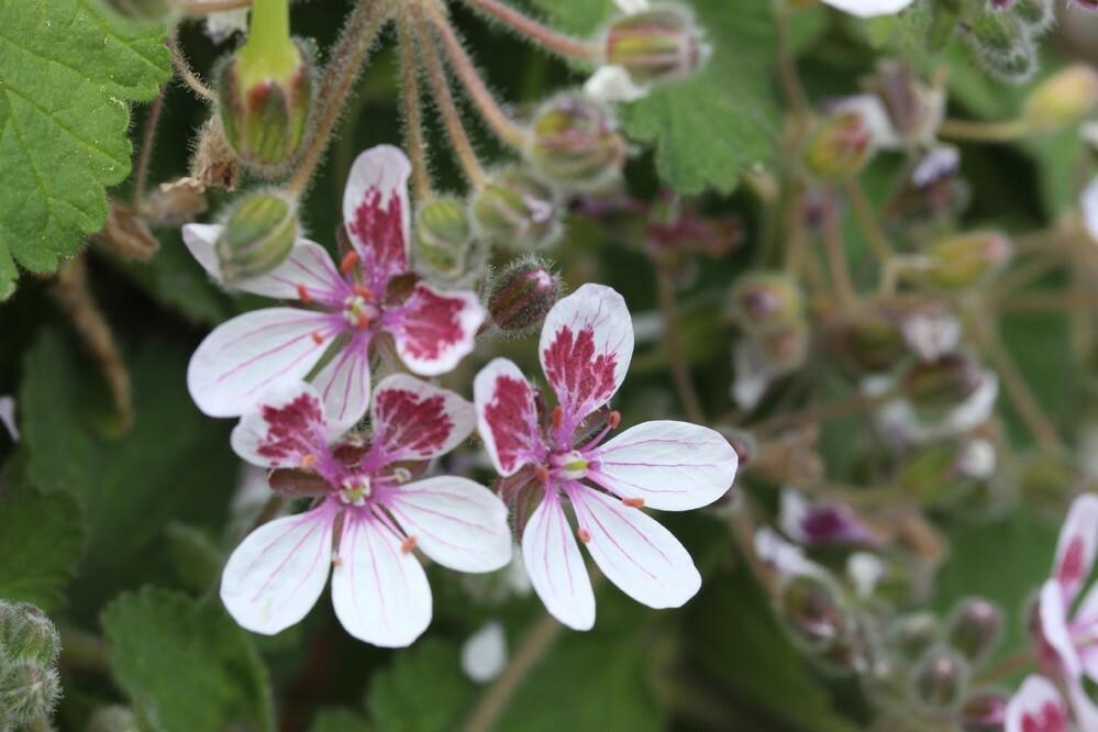 花の名前を教えて下さい。ゼラニウムの葉の感じです。