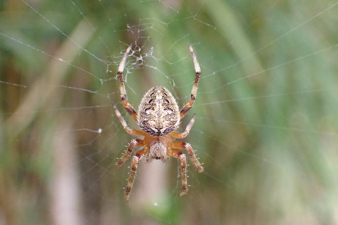 このクモの名前教えて下さい。