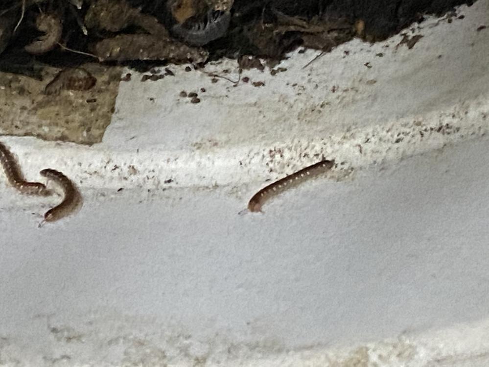 【至急】 観葉植物の植木鉢に写真の虫がたくさんいます。 太さ1ミリ、長さ3センチくらいで触覚があります。 何の虫だかわかる方いらっしゃいますか? この虫を退治しないと、観葉植物がダメになったりしてしまいますか? ご回答よろしくお願い致します。