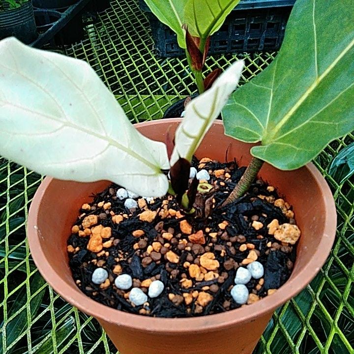 カシワバゴム 乳白色の葉が出ました。 希少価値はいかほどでしょうか? 昔見たような気が・・。