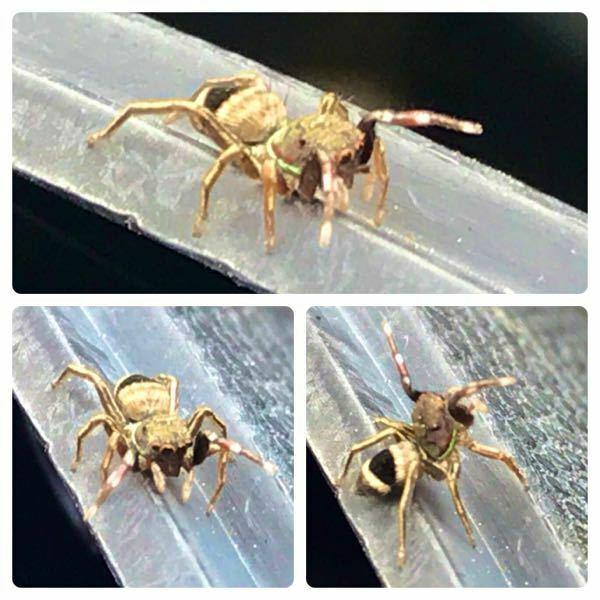 クモの種類 写真のハエトリグモについて 種類が分かる方、ご教示ください。 昨日福岡県で撮影したものです。