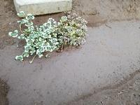クローバーはぬかるみでも育ちますか?  このまま梅雨時期になったら死んでしまいますか? このぬかるみにゼオライトでもまぜれば大丈夫ですか?