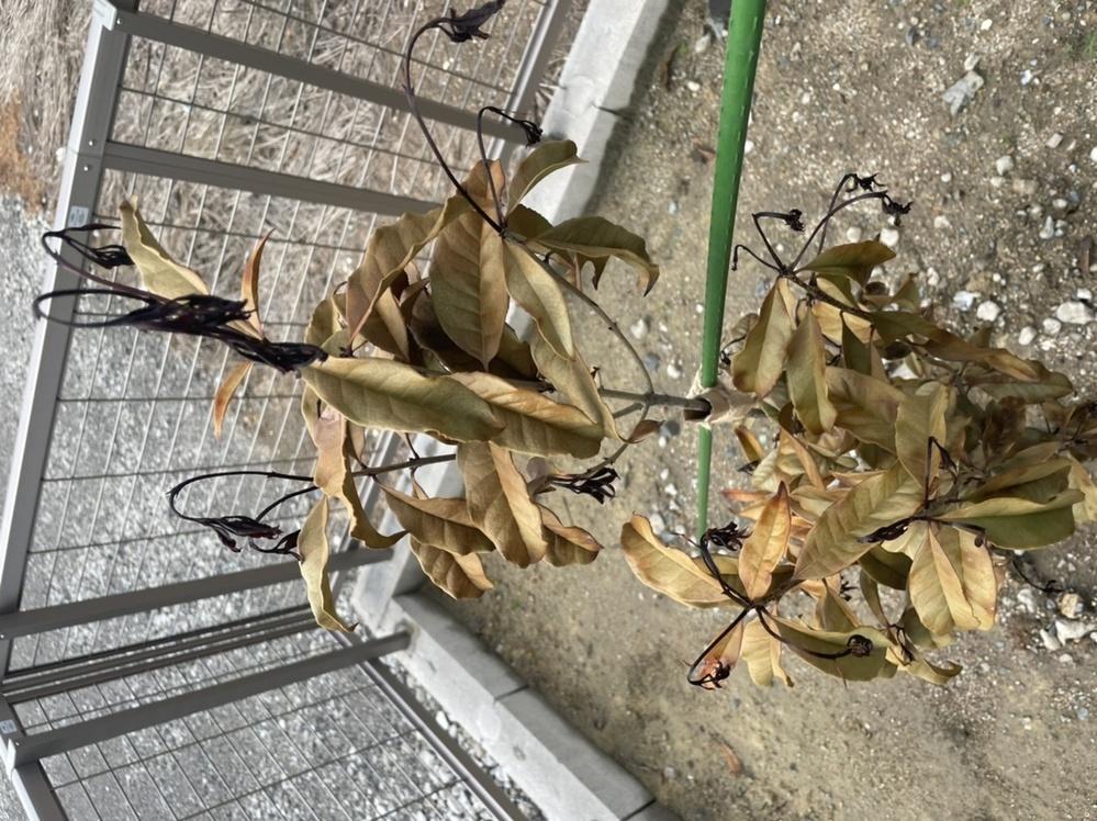 ホームセンターで金木犀を買ってきて、地植えしました。 1週間程度経ちましたが、新芽?は黒く下向きに元気がありません。 原因がわからないのですが、もう元気に生き返ることは難しいでしょうか? なにぶん初心者なもので、ご教授いただけますと幸いです。