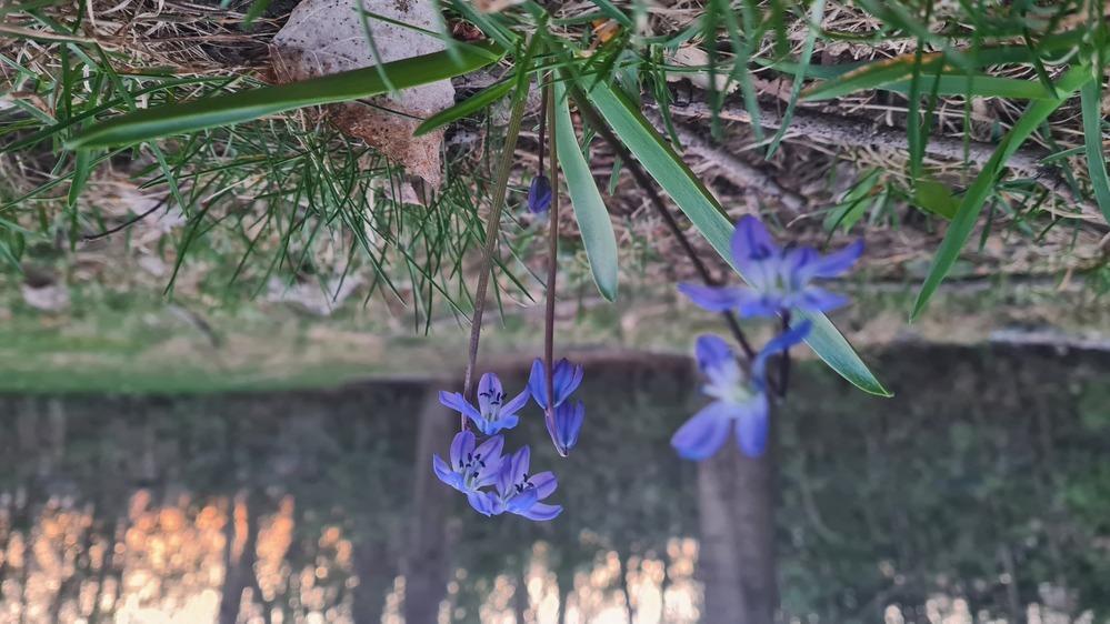 この花の名前を教えていただけますか?今こちらは初春、まだ肌寒い日が多いです。高さは約8センチです。 画像が逆で申しわけありません。