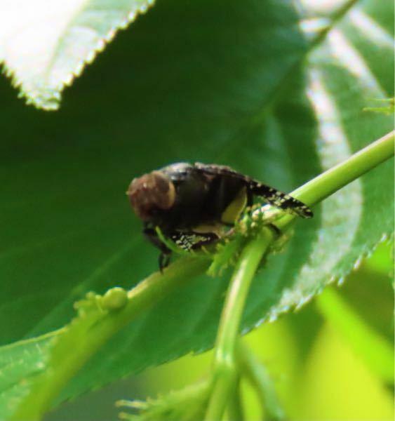 昆虫の種類 写真の虫について 種類が分かる方、ご教示ください。 昨日福岡県で撮影したものです。 ・写真はピントが合っておらず不鮮明です ・ハエのような虫を正面から撮影したものです