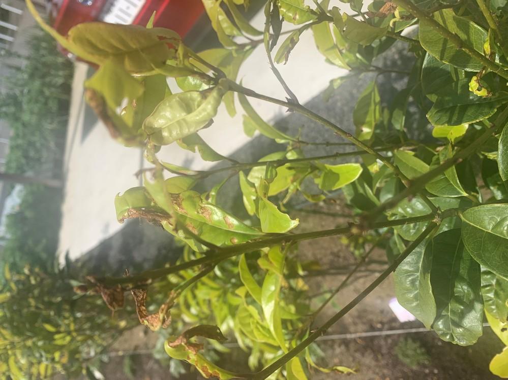 キンモクセイ 病気?害虫? 昨年の11月に植えたキンモクセイです。 春に新しい芽も出て順調かに思われましたが 新芽の先が茶色になって丸まっているように見えます。 病気でしょうか害虫でしょうか? どのように対処したら良いか教えてください。