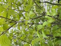 ヤマボウシの枝に白いフン?サナギ?見たいのがたくさんついています。何でしょう? ちなみにこの木には、イラガやアメリカシロヒトリみたいな毛虫はついたりします。