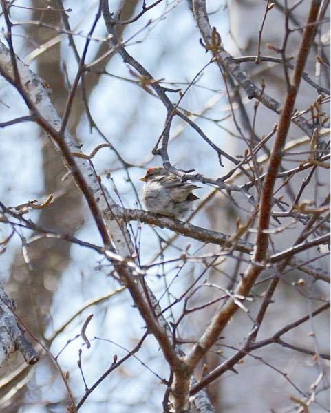 この鳥の名前をご存知の方いましたらお願いします。 最初遠目に見てすずめかな?と思って撮ろうと思ったのですが、少し小さめで頭が赤かったのでなんの鳥か気になりました。