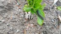 このケムシは何蛾の幼虫ですか?毒はありますか?  毎年あちこち発生します。