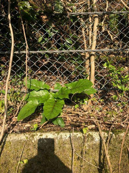 これはなんと言う植物ですか?たらの木の近くにありました