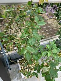鉢植えのバラの葉が枯れています。 薔薇用の薬もかけましたが、効果がありません どなたか、対処法を教えて頂けませんか?
