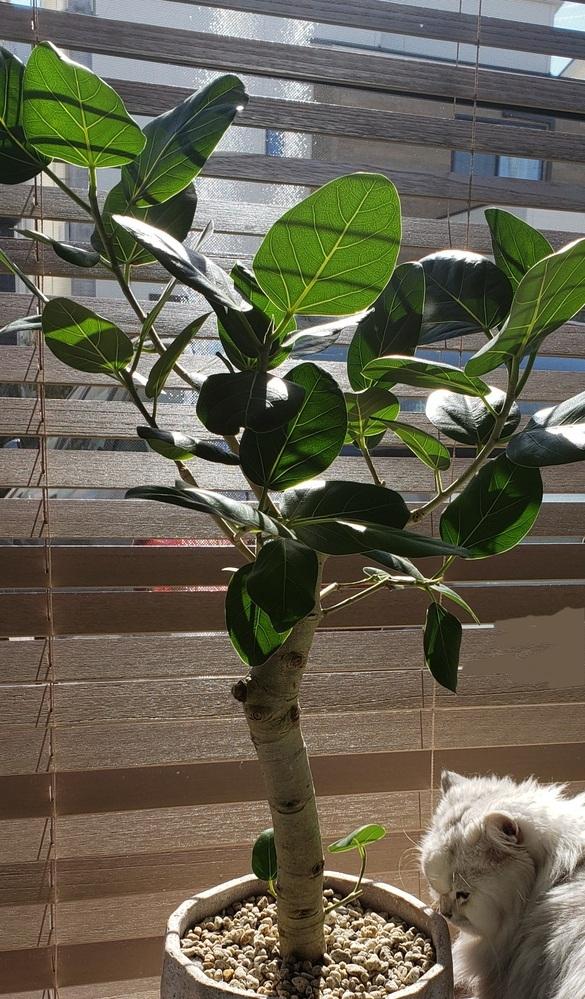 今年の2月に、フィカスベンガレンシスを購入しました。初めのうちは、葉っぱもたくさんあって元気でした。 しかし、どんどん葉っぱが落ちていき、今は葉っぱが一枚もなくなってしまいました。 お水は冬だったので、頻繁にあげてません。 葉が落ちた原因は寒さなのでしょうか。 今は枝の先に葉っぱになろうとした子たちが居ましたが、その子たちも、茶色になってしまいました。 今後、また葉っぱがいっぱいつくで...