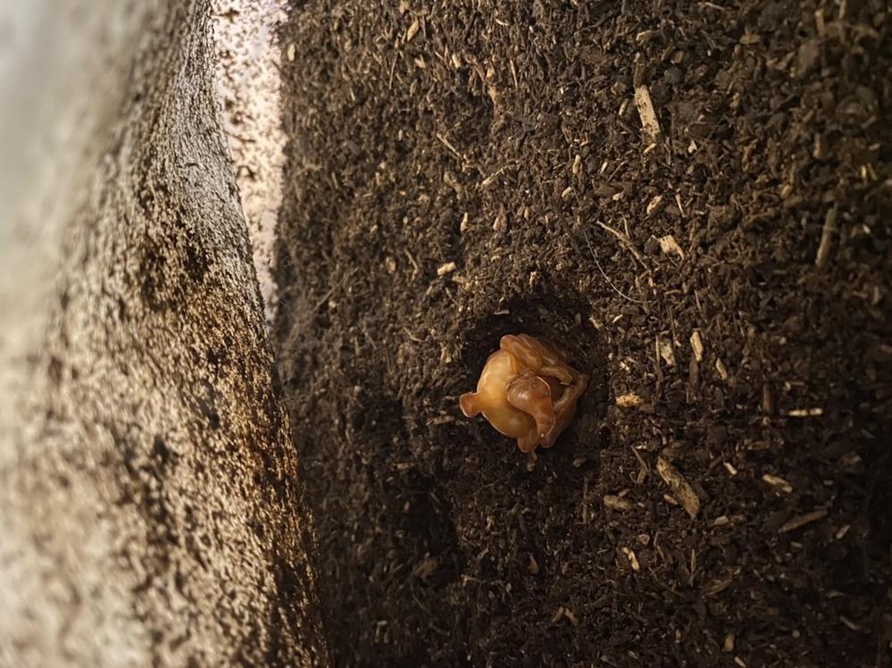 昨日、蛹になりました。すぐに人工蛹室に移したほうがいいですか? あと、オアシスの人工蛹室から、出すタイミングを教えて下さい。